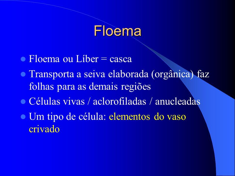 Floema Floema ou Líber = casca Transporta a seiva elaborada (orgânica) faz folhas para as demais regiões Células vivas / aclorofiladas / anucleadas Um