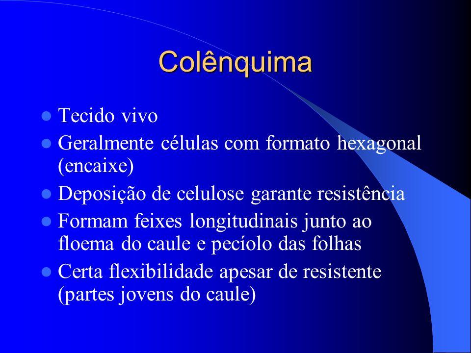 Colênquima Tecido vivo Geralmente células com formato hexagonal (encaixe) Deposição de celulose garante resistência Formam feixes longitudinais junto