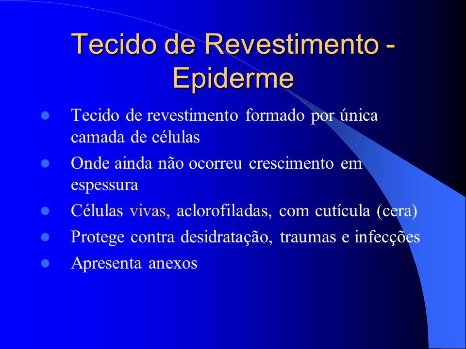 Tecido de Revestimento - Epiderme Tecido de revestimento formado por única camada de células Onde ainda não ocorreu crescimento em espessura Células v
