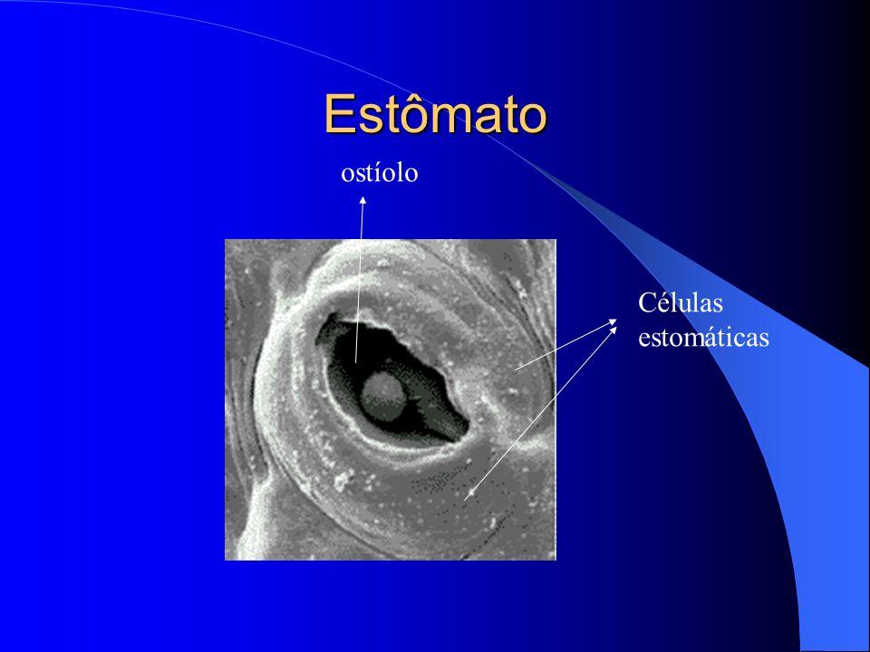 Anexos - Pêlos Prolongamentos da epiderme Os pêlos absorventes são encontrados nas raízes (aumenta superfície de absorção) Os pêlos secretores produzem odor, substâncias urticantes, néctar, enzimas digestivas...