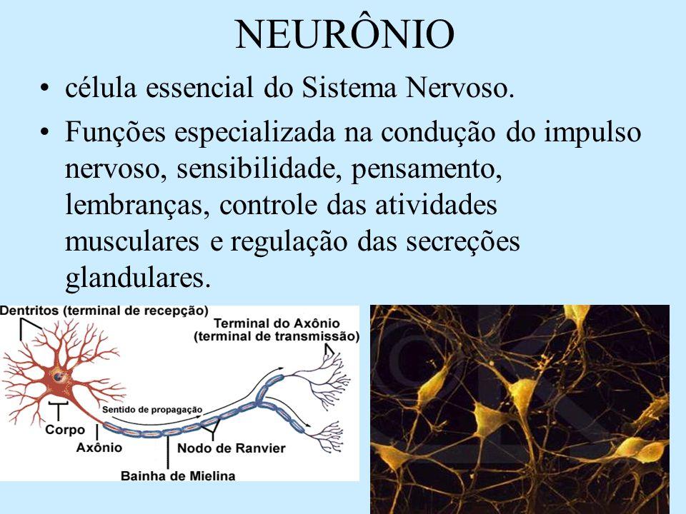 NEURÔNIO célula essencial do Sistema Nervoso. Funções especializada na condução do impulso nervoso, sensibilidade, pensamento, lembranças, controle da