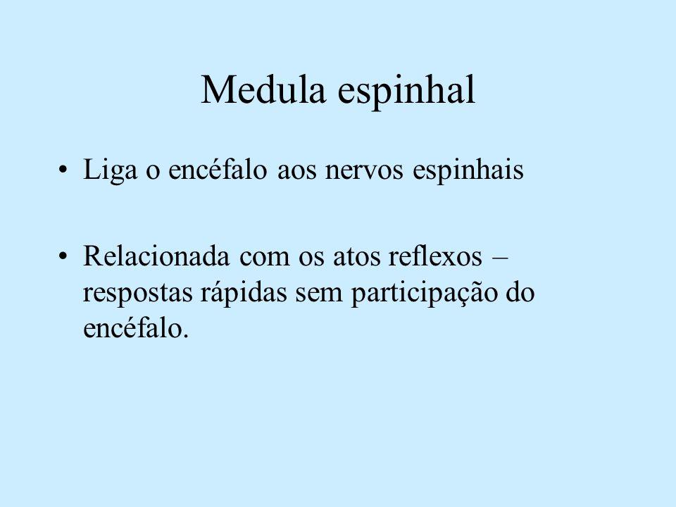 Medula espinhal Liga o encéfalo aos nervos espinhais Relacionada com os atos reflexos – respostas rápidas sem participação do encéfalo.