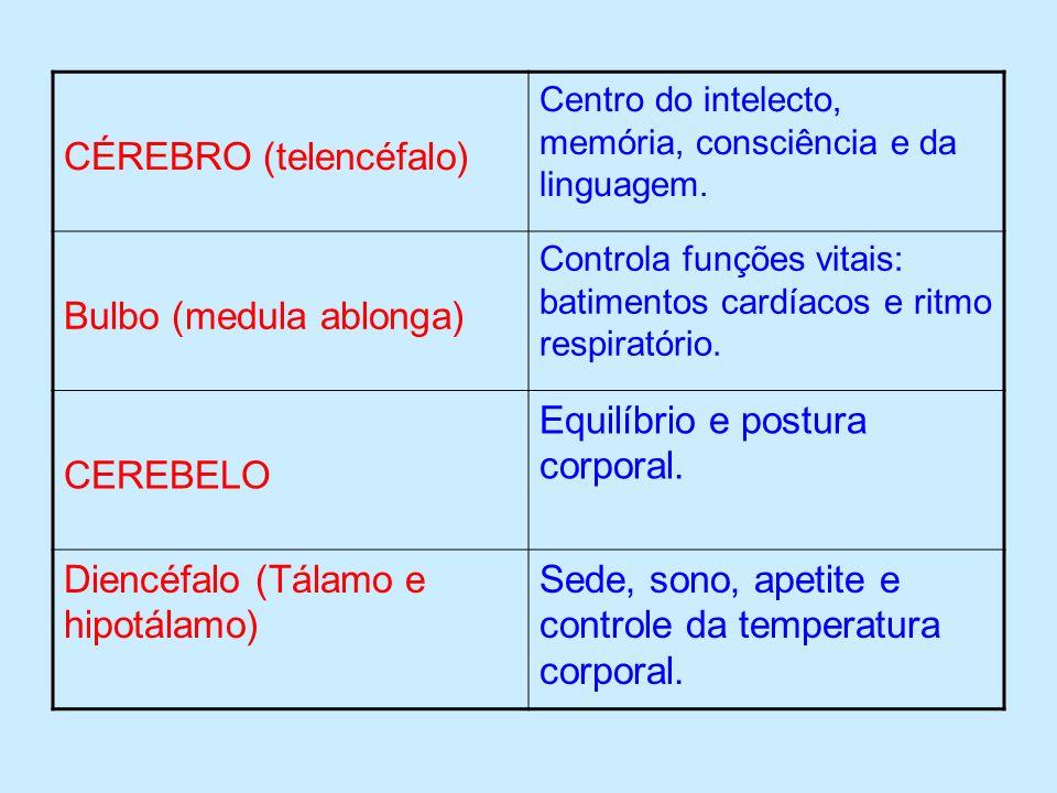 CÉREBRO (telencéfalo) Centro do intelecto, memória, consciência e da linguagem. Bulbo (medula ablonga) Controla funções vitais: batimentos cardíacos e