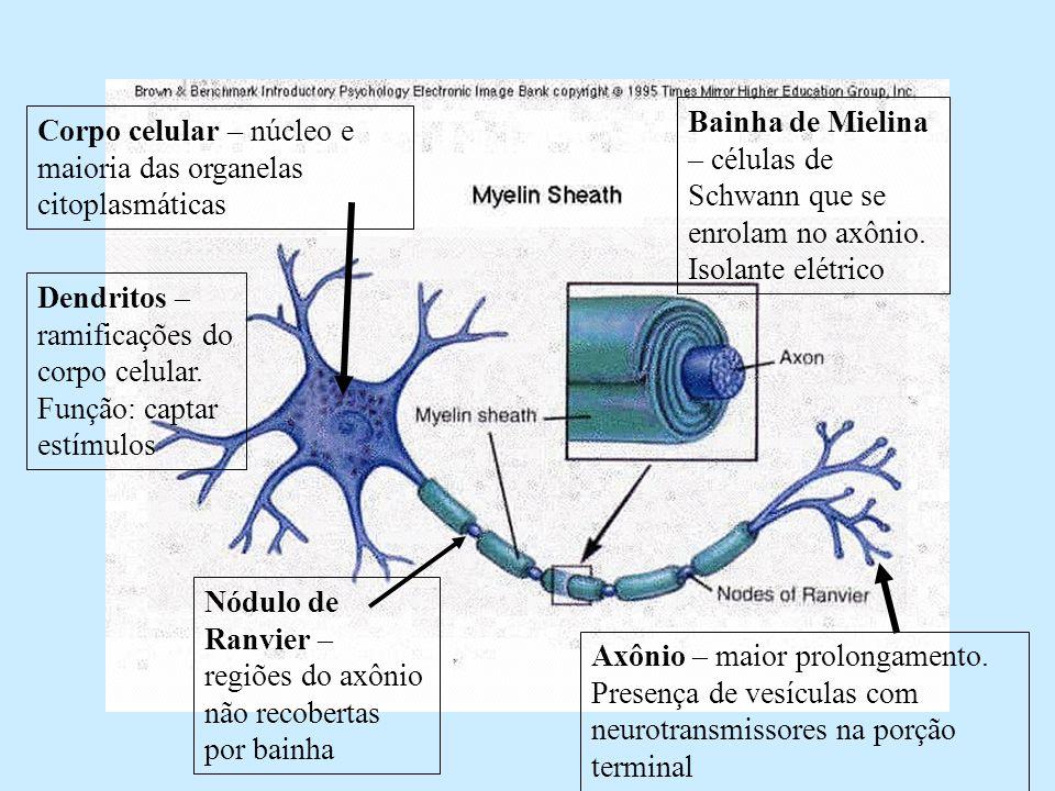 Sistema nervoso Corpo celular – local onde estão presentes o núcleo, o citoplasma e estão fixados ou neuritos e dendritos.