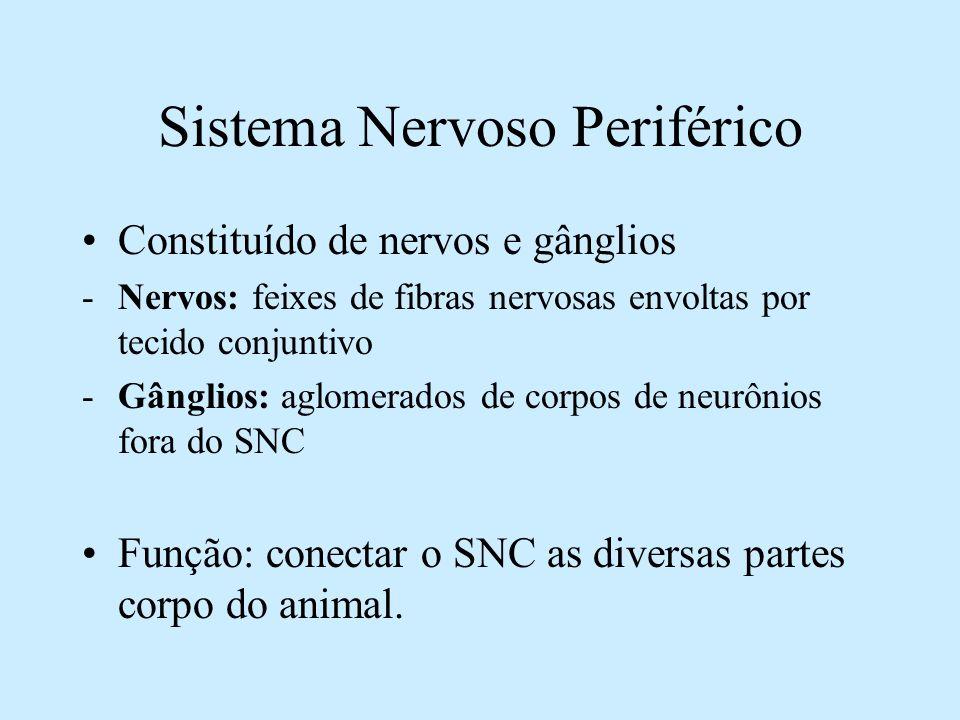 Sistema Nervoso Periférico Constituído de nervos e gânglios -Nervos: feixes de fibras nervosas envoltas por tecido conjuntivo -Gânglios: aglomerados d