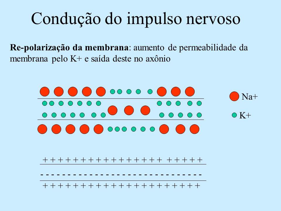 Condução do impulso nervoso Bomba de Na+ e K+: restabelece as concentrações de Na+ e K+ dentro e fora do axônio após a passagem do impulso – transporte ativo Alta [ ] de Na+ e baixa [ ] de k+ no meio extracelular Baixa [ ] de Na+ e alta [ ] de k+ dentro do axônio Na+ K+