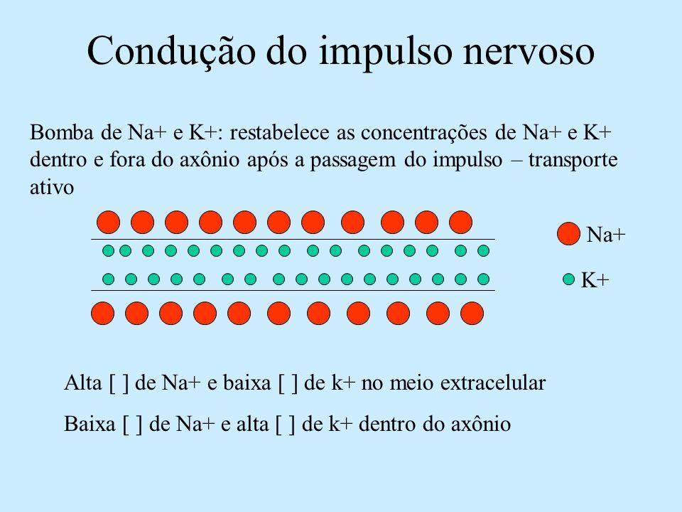 Condução do impulso nervoso Bomba de Na+ e K+: restabelece as concentrações de Na+ e K+ dentro e fora do axônio após a passagem do impulso – transport