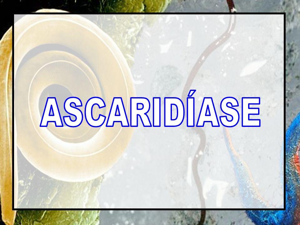 Lombriga Agente etiológico Ascaris lumbricoides Ingestão de água e alimentos contaminados com ovos do parasita