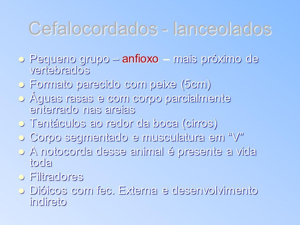 Cefalocordados - lanceolados Pequeno grupo – anfioxo – mais próximo de vertebrados Pequeno grupo – anfioxo – mais próximo de vertebrados Formato parec