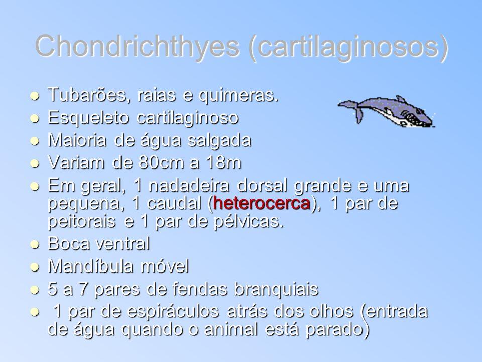 Chondrichthyes (cartilaginosos) Tubarões, raias e quimeras. Tubarões, raias e quimeras. Esqueleto cartilaginoso Esqueleto cartilaginoso Maioria de águ