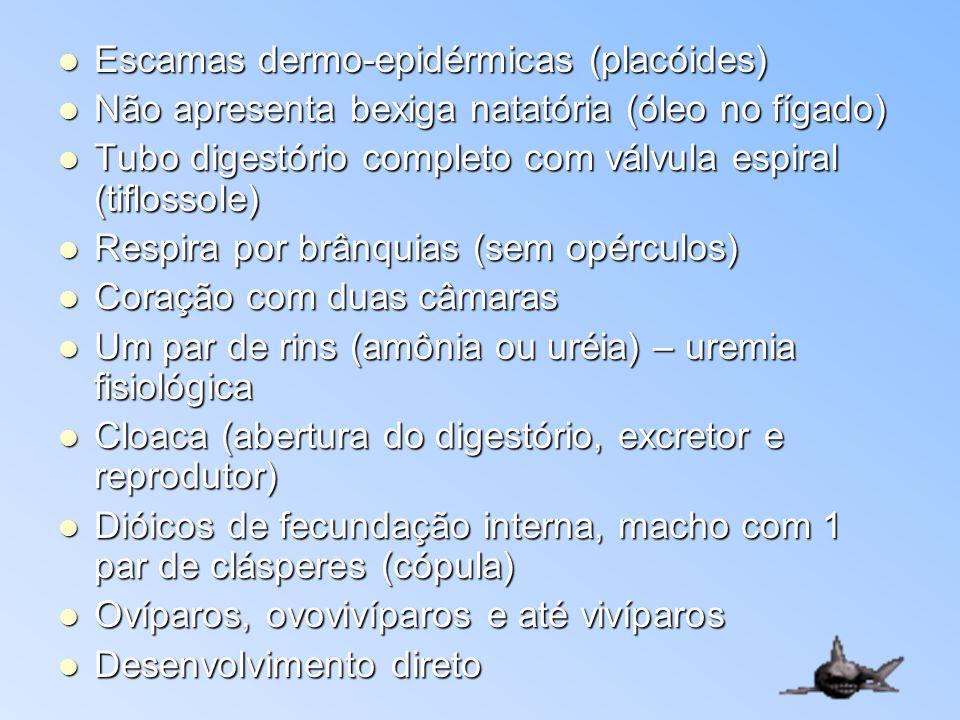 Escamas dermo-epidérmicas (placóides) Escamas dermo-epidérmicas (placóides) Não apresenta bexiga natatória (óleo no fígado) Não apresenta bexiga natat