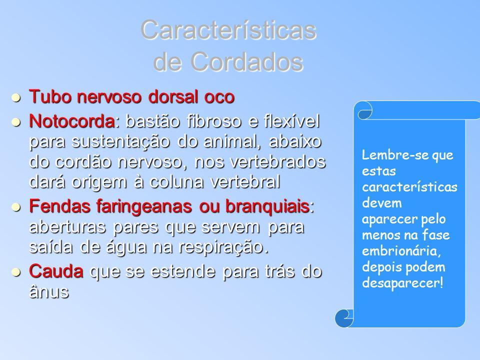 Características de Cordados Tubo nervoso dorsal oco Tubo nervoso dorsal oco Notocorda: bastão fibroso e flexível para sustentação do animal, abaixo do