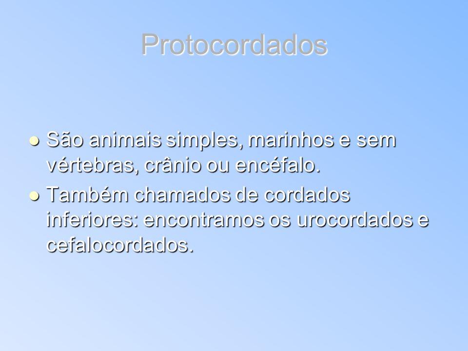Protocordados São animais simples, marinhos e sem vértebras, crânio ou encéfalo. São animais simples, marinhos e sem vértebras, crânio ou encéfalo. Ta