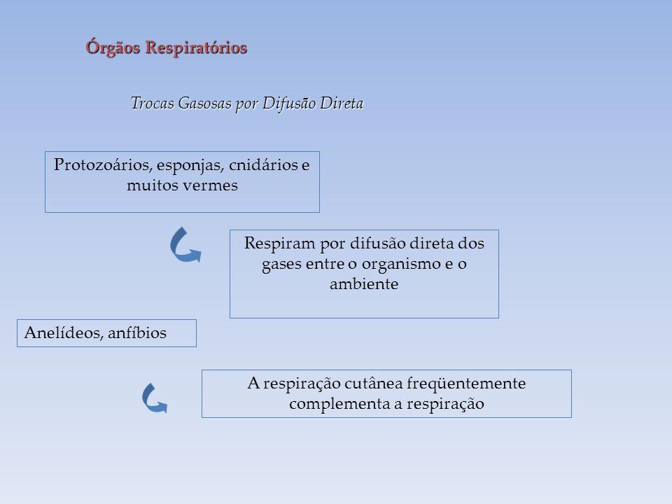 Órgãos Respiratórios Trocas Gasosas por Difusão Direta Protozoários, esponjas, cnidários e muitos vermes Respiram por difusão direta dos gases entre o organismo e o ambiente Anelídeos, anfíbios A respiração cutânea freqüentemente complementa a respiração
