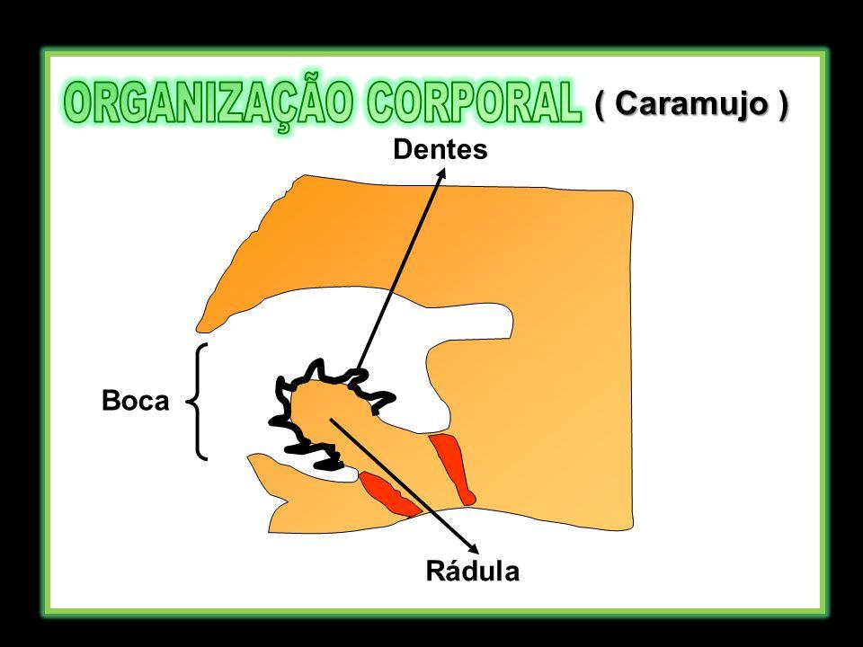 Boca Rádula Dentes ( Caramujo )