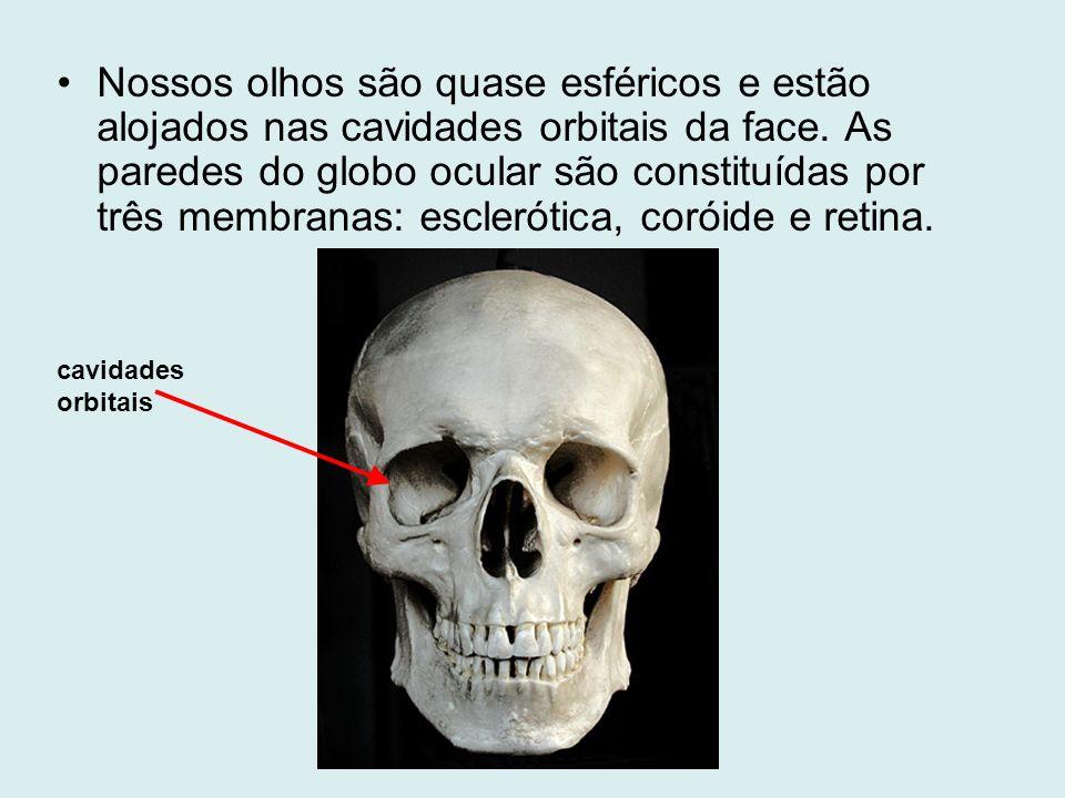 Nossos olhos são quase esféricos e estão alojados nas cavidades orbitais da face. As paredes do globo ocular são constituídas por três membranas: escl