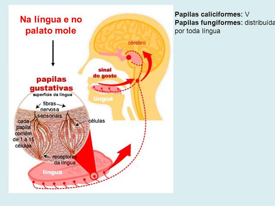 Na língua e no palato mole Papilas caliciformes: V Papilas fungiformes: distribuídas por toda língua