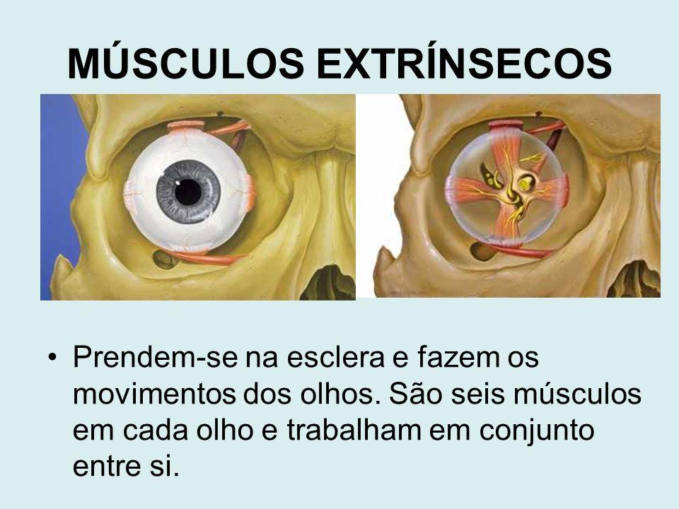 Prendem-se na esclera e fazem os movimentos dos olhos. São seis músculos em cada olho e trabalham em conjunto entre si. MÚSCULOS EXTRÍNSECOS