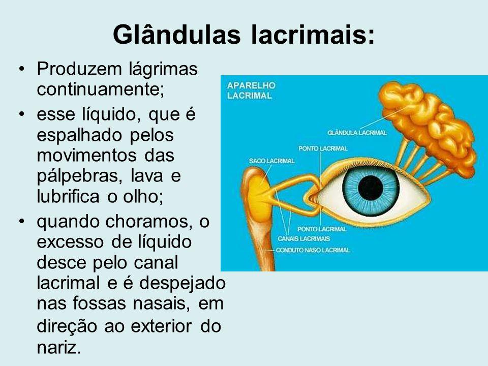 Glândulas lacrimais: Produzem lágrimas continuamente; esse líquido, que é espalhado pelos movimentos das pálpebras, lava e lubrifica o olho; quando ch