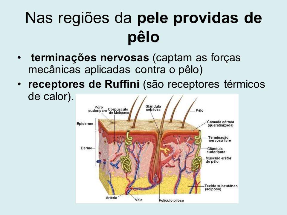 Nas regiões da pele providas de pêlo terminações nervosas (captam as forças mecânicas aplicadas contra o pêlo) receptores de Ruffini (são receptores t