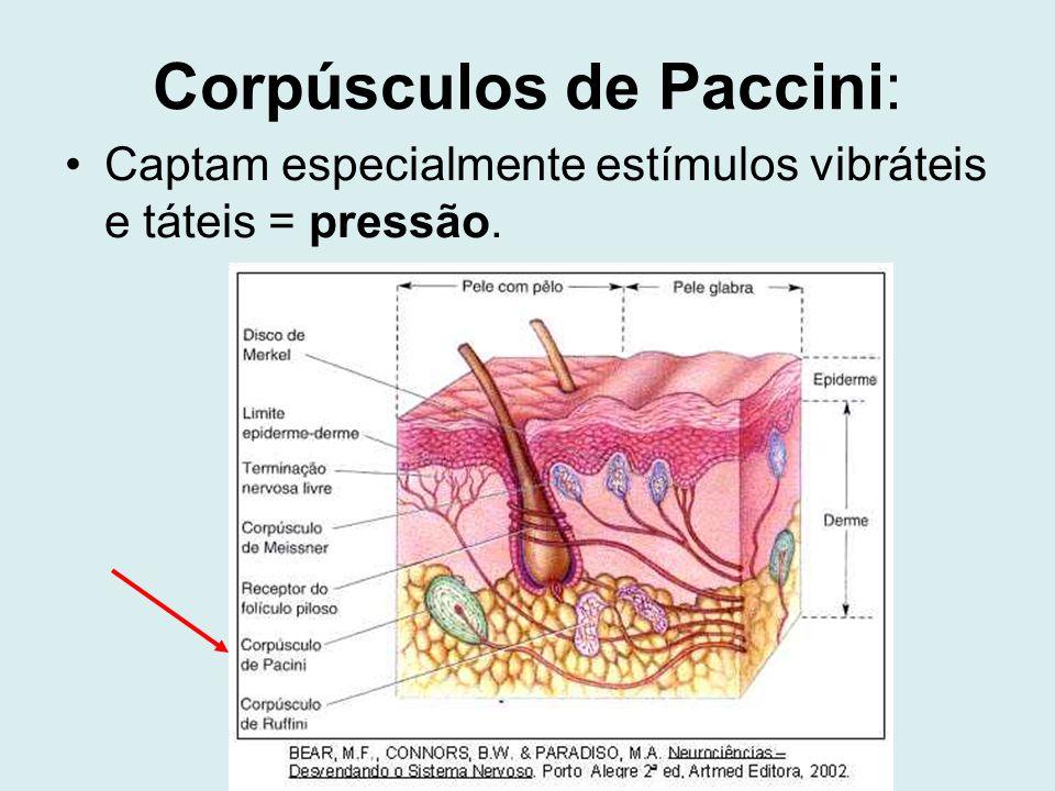 Corpúsculos de Paccini: Captam especialmente estímulos vibráteis e táteis = pressão.