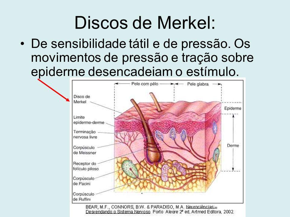 Discos de Merkel: De sensibilidade tátil e de pressão. Os movimentos de pressão e tração sobre epiderme desencadeiam o estímulo.