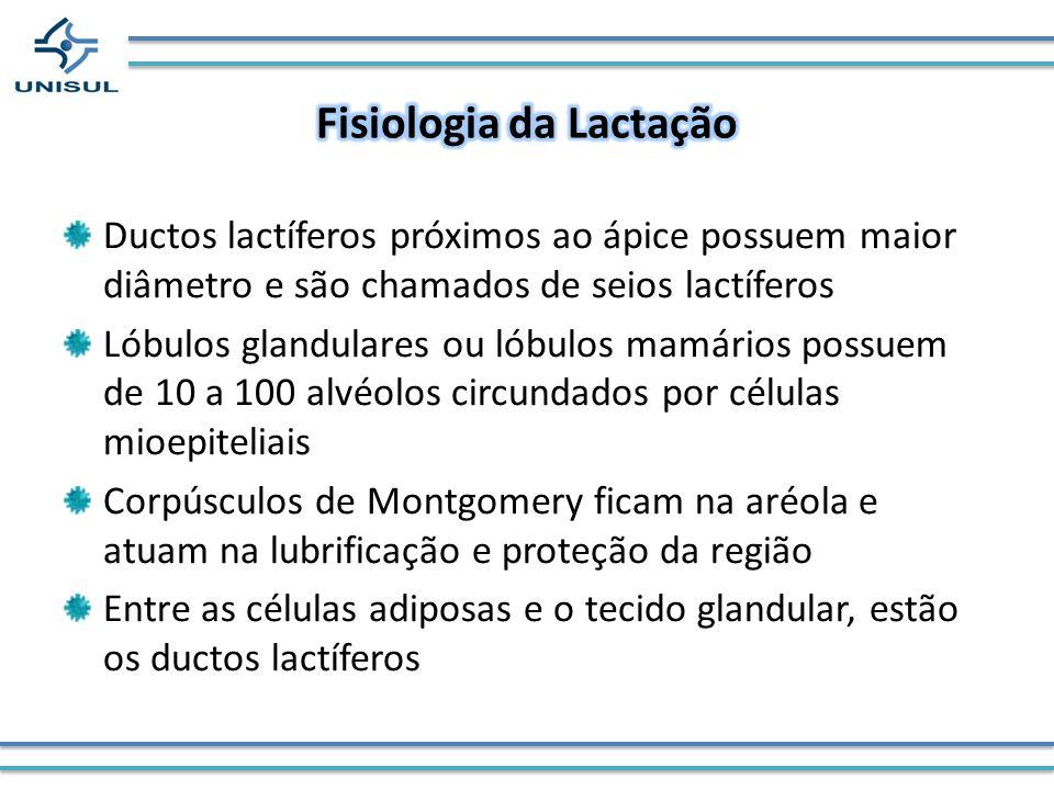 Ductos lactíferos próximos ao ápice possuem maior diâmetro e são chamados de seios lactíferos Lóbulos glandulares ou lóbulos mamários possuem de 10 a