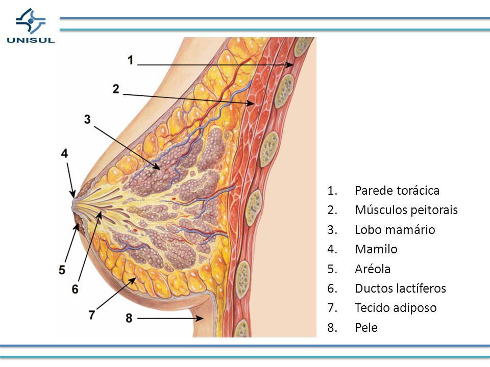 1.Parede torácica 2.Músculos peitorais 3.Lobo mamário 4.Mamilo 5.Aréola 6.Ductos lactíferos 7.Tecido adiposo 8.Pele