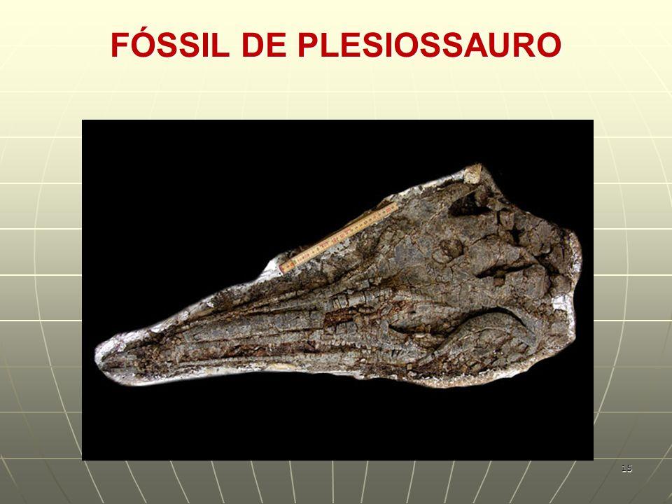 FÓSSIL DE PLESIOSSAURO 15