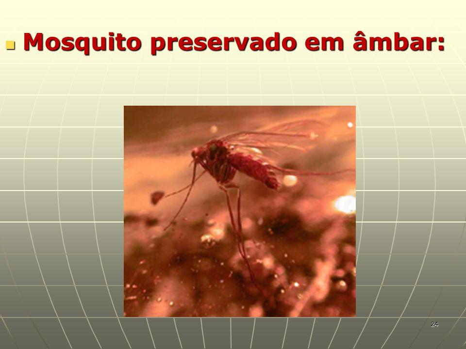 Mosquito preservado em âmbar: Mosquito preservado em âmbar: 24
