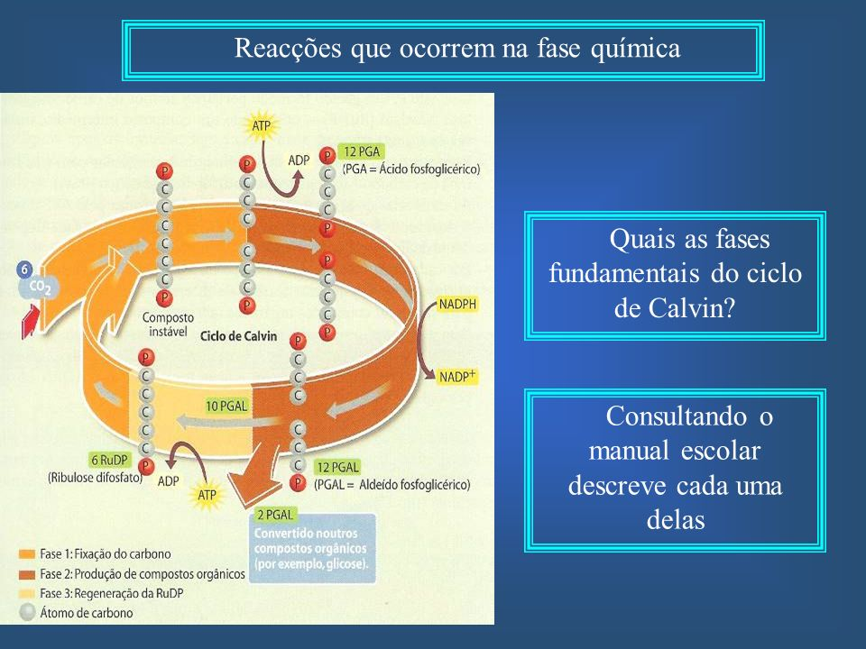 Reacções que ocorrem na fase química Quais as fases fundamentais do ciclo de Calvin.