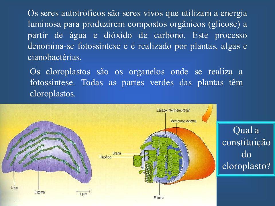 Nos cloroplastos encontram-se os pigmentos fotossintéticos, como pudeste confirmar na aula experimental As clorofilas e os outros pigmentos fotossintéticos estão dispersos na bicamada fosfolipídica da membrana interna (tilacóides) dos seus cloroplastos
