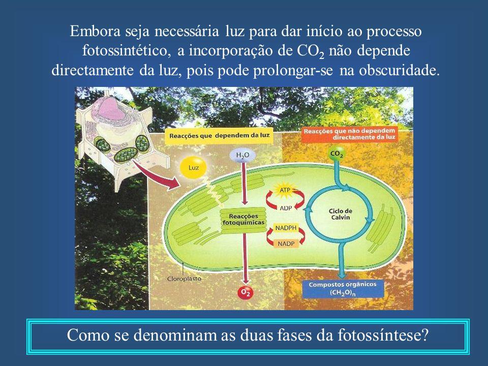 Embora seja necessária luz para dar início ao processo fotossintético, a incorporação de CO 2 não depende directamente da luz, pois pode prolongar-se