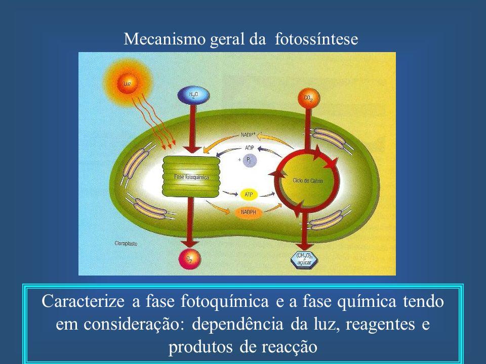 Mecanismo geral da fotossíntese Caracterize a fase fotoquímica e a fase química tendo em consideração: dependência da luz, reagentes e produtos de rea