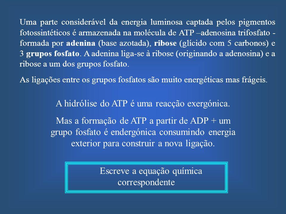 A hidrólise do ATP é uma reacção exergónica. Mas a formação de ATP a partir de ADP + um grupo fosfato é endergónica consumindo energia exterior para c