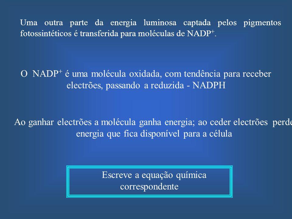 1º Fotólise da água – Na presença da luz … 2º Oxidação da clorofila - A clorofila, excitada … 3º Fluxo de electrões – Os electrões perdidos pela clorofila transitam ao longo de uma cadeia … 4º Redução do NADP + - Os iões H + resultantes da fotólise da água, juntamente com os electrões da cadeia transportadora, vão … Completa os processos que se seguem: Durante a fase fotoquímica a energia luminosa é convertida em energia biologicamente utilizável (ATP e NADPH)
