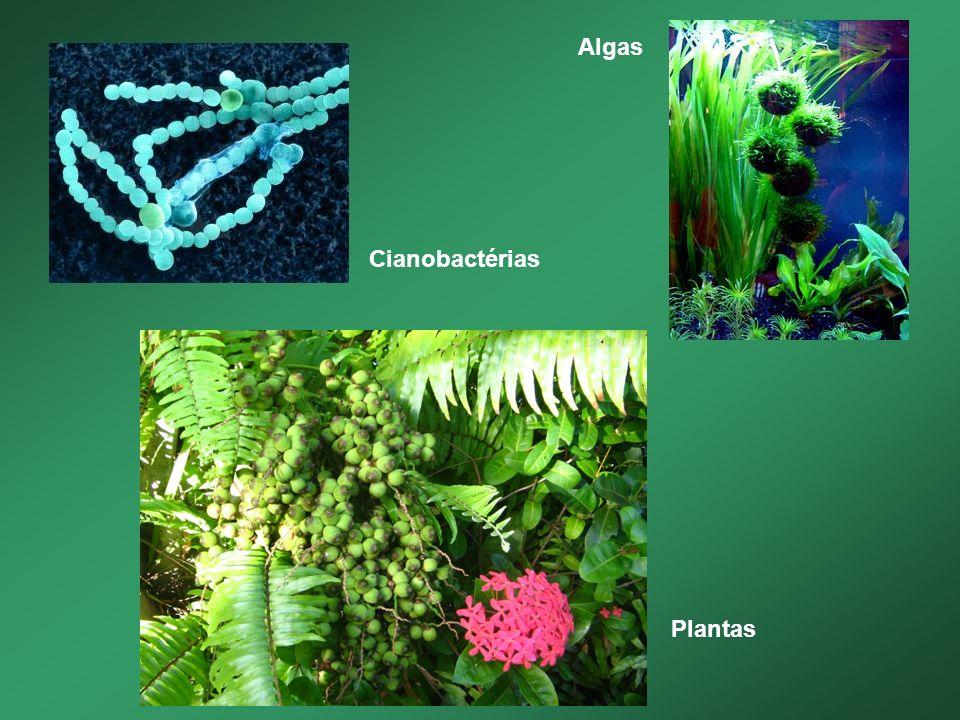 Cianobactérias Algas Plantas