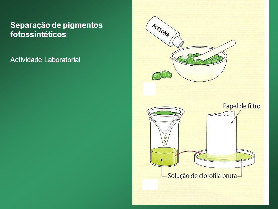 Separação de pigmentos fotossintéticos Actividade Laboratorial