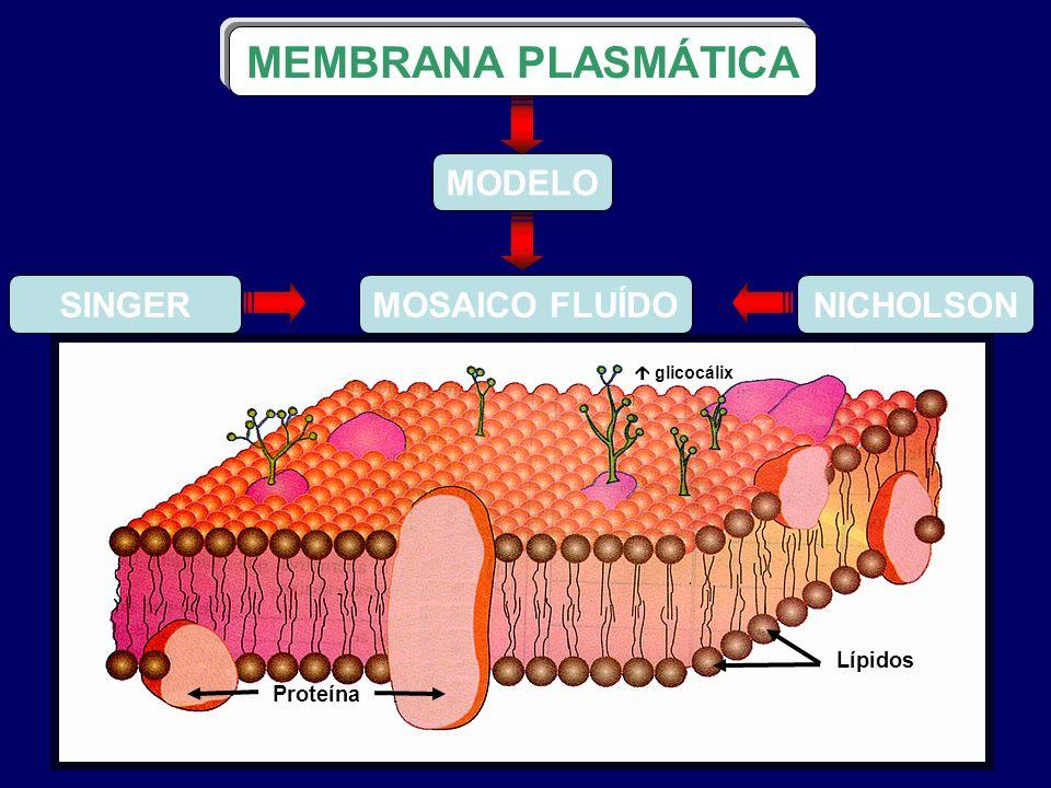SINGER NICHOLSON Proteína Lípidos MODELO MOSAICO FLUÍDO MEMBRANA PLASMÁTICA glicocálix