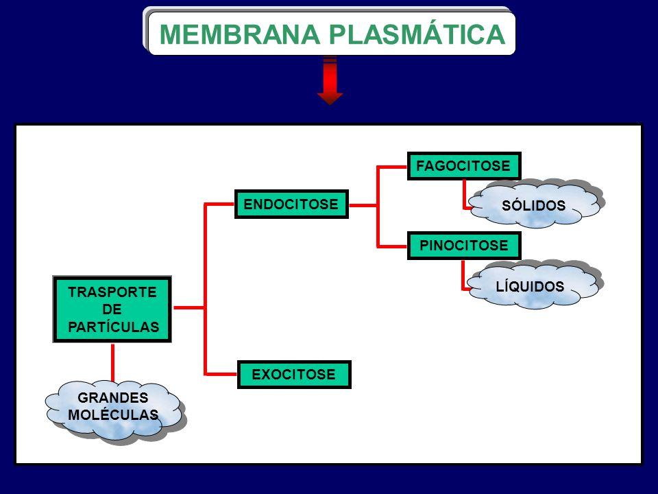 MEMBRANA PLASMÁTICA TRASPORTE DE PARTÍCULAS GRANDES MOLÉCULAS ENDOCITOSE EXOCITOSE FAGOCITOSE PINOCITOSE SÓLIDOSLÍQUIDOS