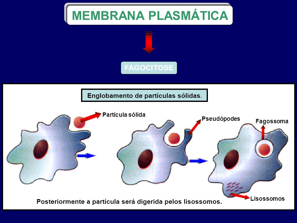 FAGOCITOSE MEMBRANA PLASMÁTICA Englobamento de partículas sólidas. Partícula sólida Pseudópodes Fagossoma Lisossomos Posteriormente a partícula será d