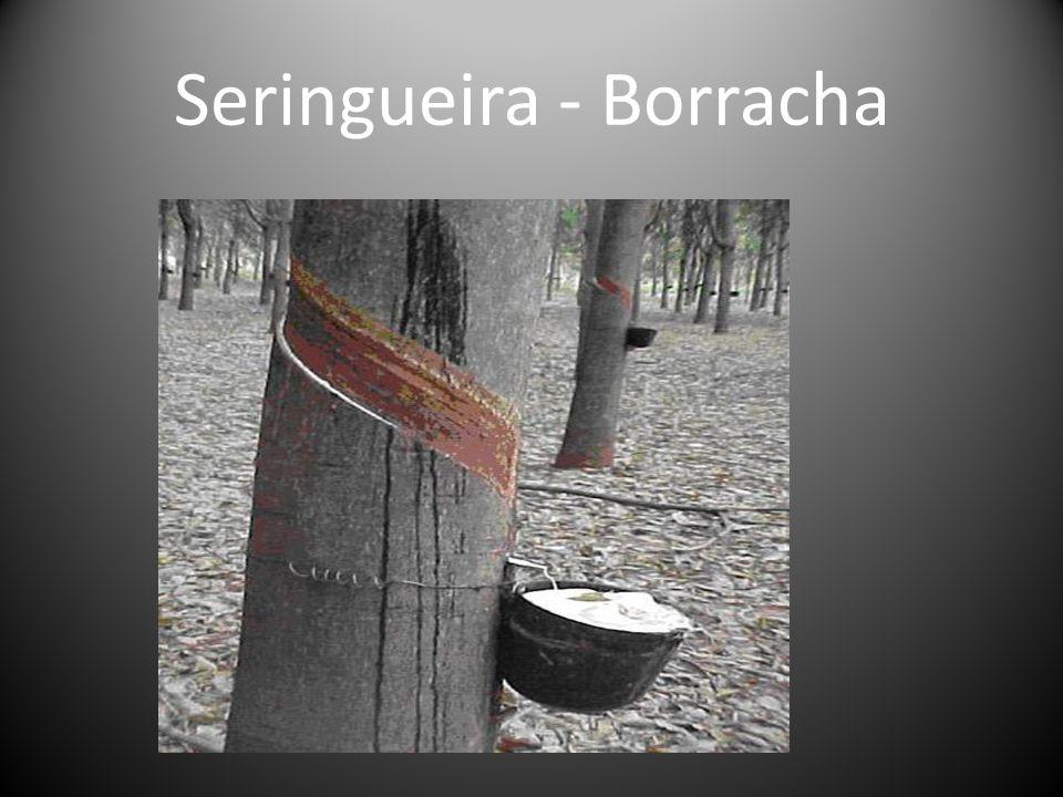 Seringueira - Borracha