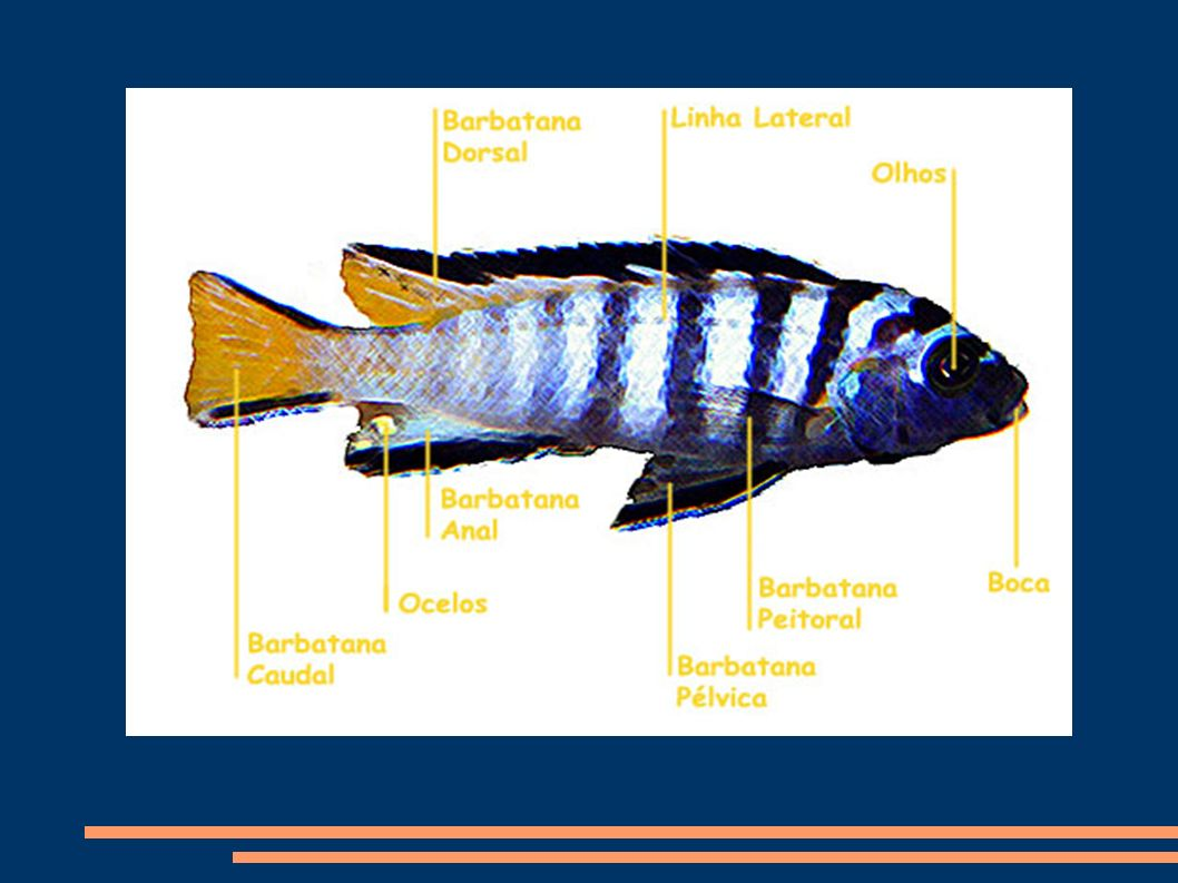 Escamas A maioria dos peixes tem a pele recoberta por escamas.