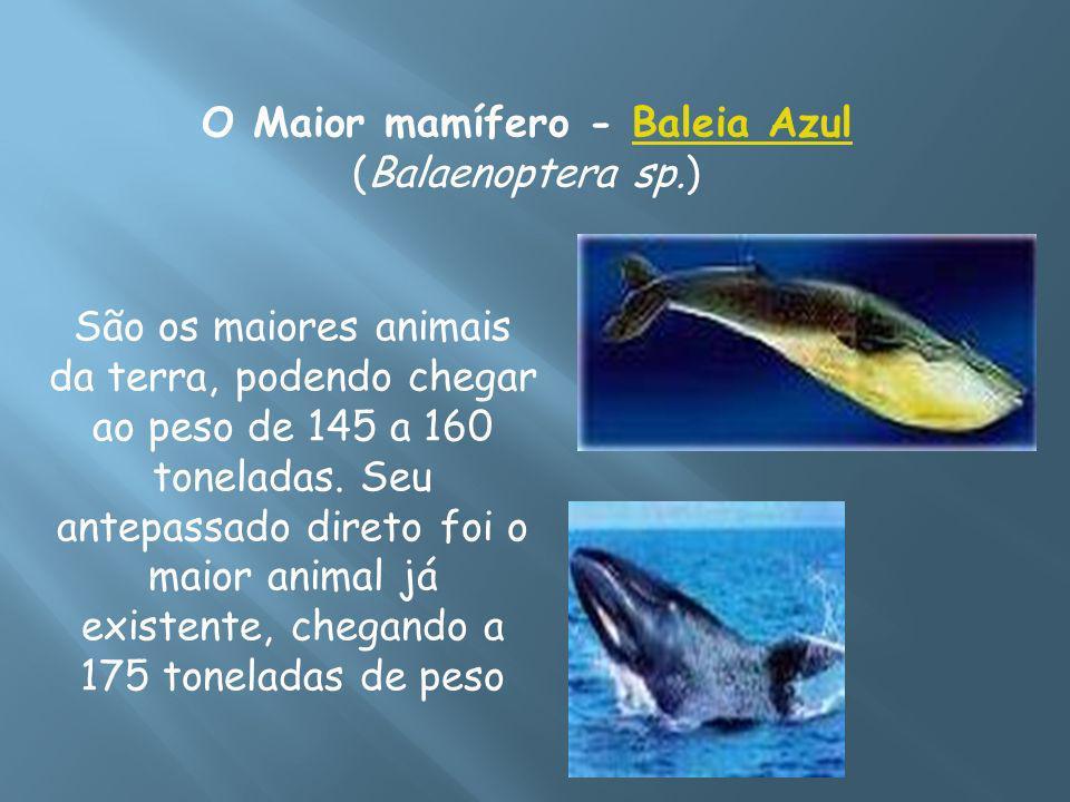 O Maior mamífero - Baleia Azul (Balaenoptera sp.)Baleia Azul São os maiores animais da terra, podendo chegar ao peso de 145 a 160 toneladas. Seu antep