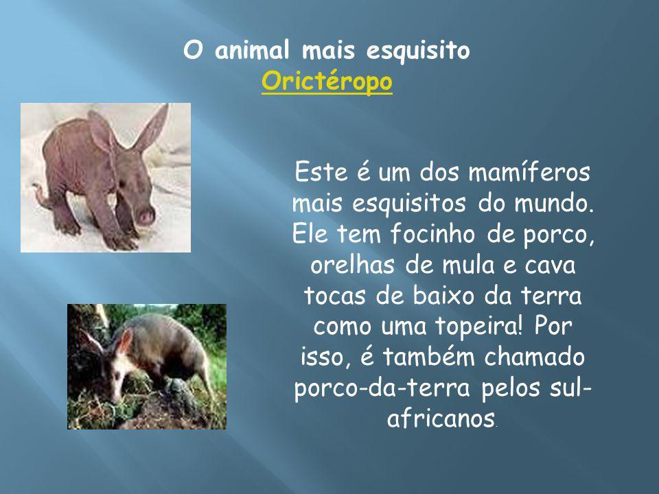 O animal mais esquisito Orictéropo Orictéropo Este é um dos mamíferos mais esquisitos do mundo. Ele tem focinho de porco, orelhas de mula e cava tocas