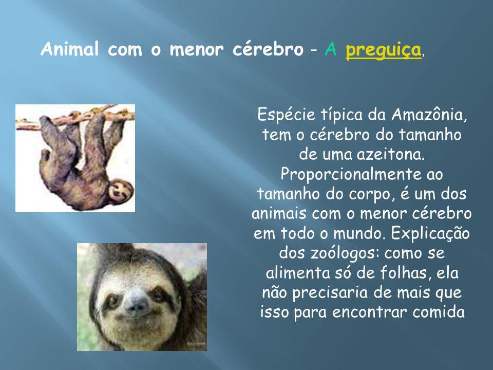 Animal com o menor cérebro - A preguiça,preguiça Espécie típica da Amazônia, tem o cérebro do tamanho de uma azeitona. Proporcionalmente ao tamanho do