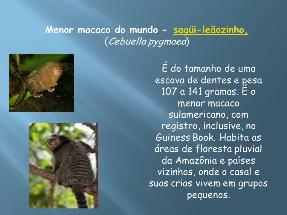 Menor macaco do mundo - sagüi-leãozinho, (Cebuella pygmaea)sagüi-leãozinho, É do tamanho de uma escova de dentes e pesa 107 a 141 gramas. É o menor ma
