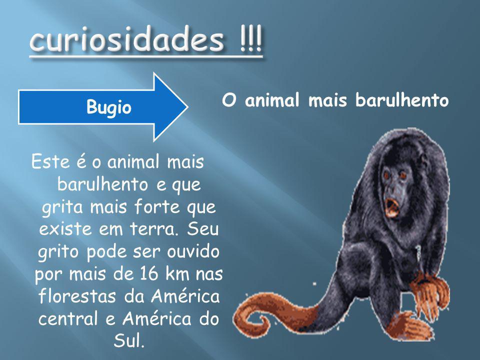 Menor macaco do mundo - sagüi-leãozinho, (Cebuella pygmaea)sagüi-leãozinho, É do tamanho de uma escova de dentes e pesa 107 a 141 gramas.
