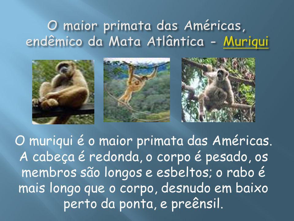O muriqui é o maior primata das Américas. A cabeça é redonda, o corpo é pesado, os membros são longos e esbeltos; o rabo é mais longo que o corpo, des