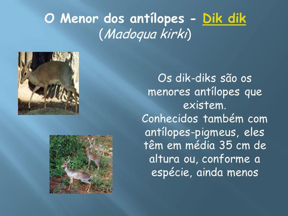 O Menor dos antílopes - Dik dik (Madoqua kirki)Dik dik Os dik-diks são os menores antílopes que existem. Conhecidos também com antílopes-pigmeus, eles